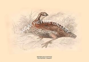 VIRGINIAN QUAIL OR PARTRIDGE = Ortyx Vlrginianus -- Bonaparte